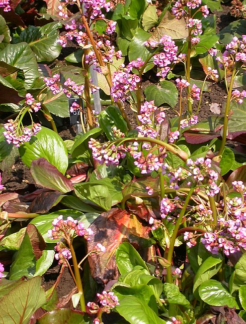 Bergenia 'Jessica', Whole plant: grown in  Bergenia Trial 2007-2009, RHS Wisley Garden, Surrey, England, Photographer: Paul Kennett