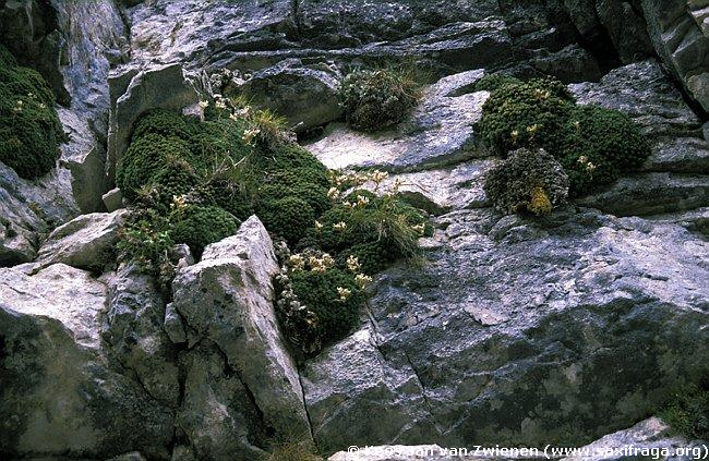 Saxifraga marginata, group of plants, near Monadendri above the Vikos Gorge, Greece, Photographer: Kees Jan van Zwienen